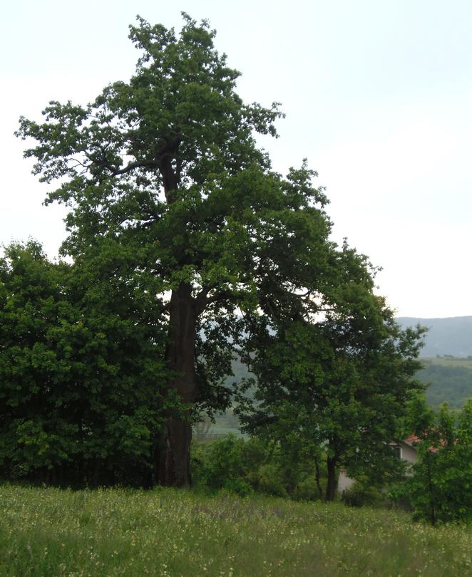 Minister Lichev declared a 300-year-old tree under protection - 01