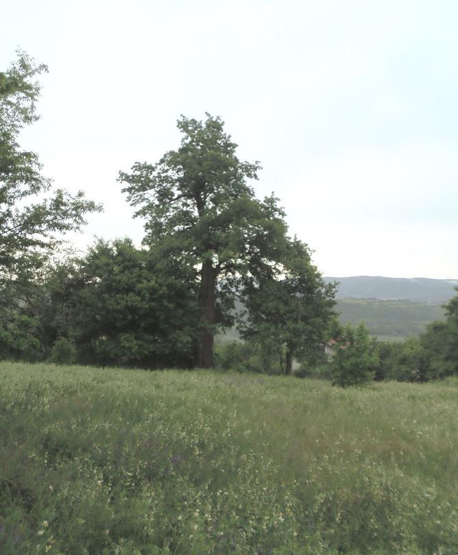 Вековно дърво - село Главановци - 01