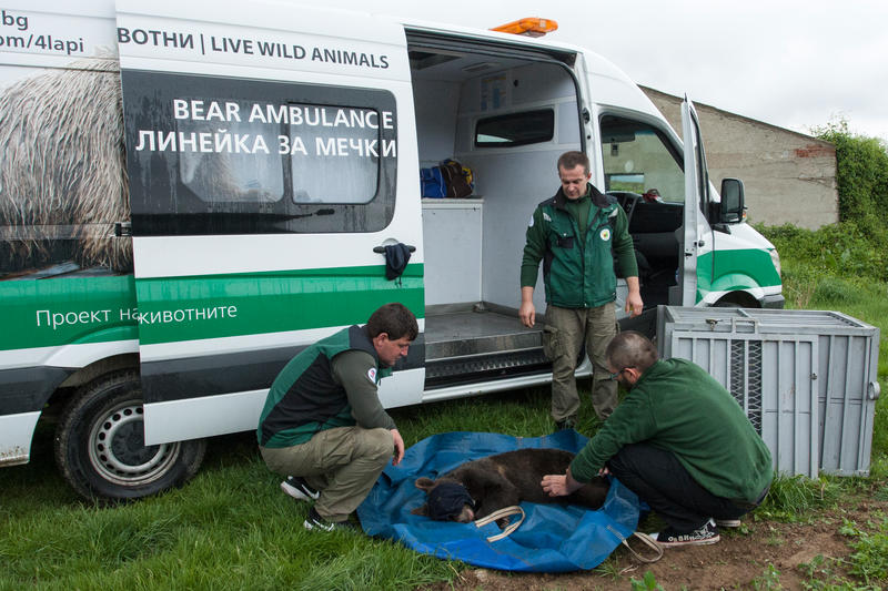 The three bears found near Dospat were released back into the wild - 01