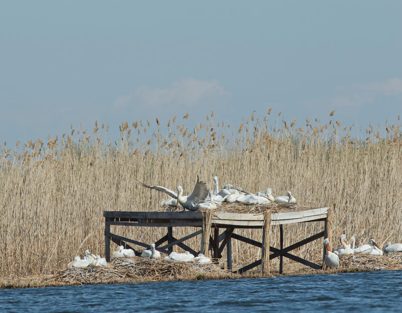 """Започна разможителният период на пеликаните в резервата """"Сребърна"""" - 01"""