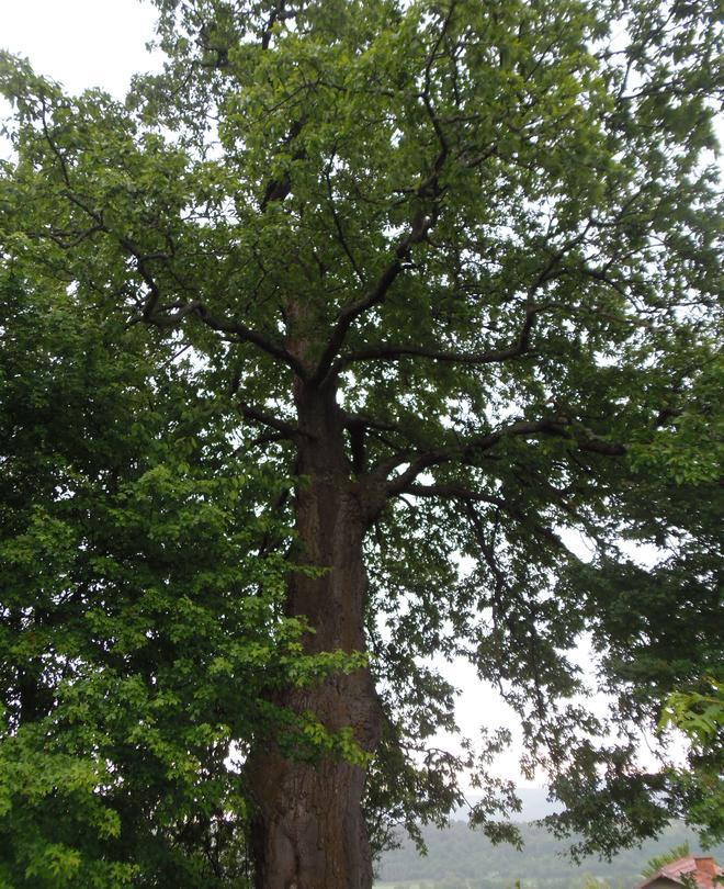 Министър Личев обяви за защитено вековно дърво на 300 години - 4
