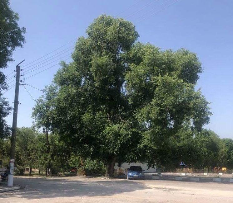 Вековен полски бряст в село Ковачево е обявен за защитено дърво - 01