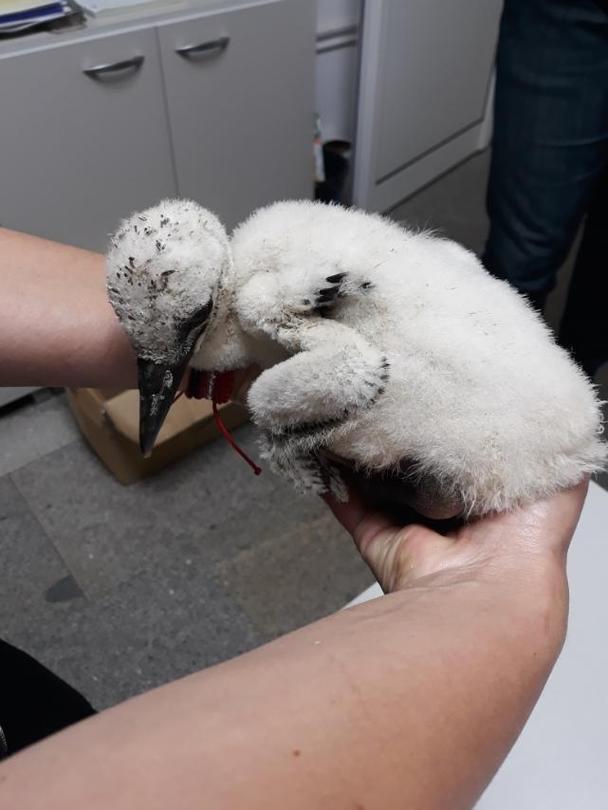 Експерти от РИОСВ – Велико Търново се отзоваха на сигнал за паднал от гнездото малък щъркел - 01