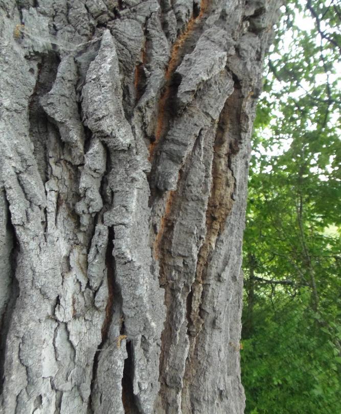 Министър Личев обяви за защитено вековно дърво на 300 години - 3